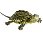 Turtles and Tortoises for sale